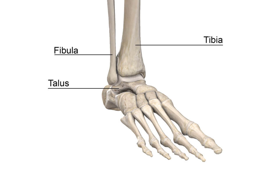 Skeleton Feet showing Fibula, Tibia, Talus