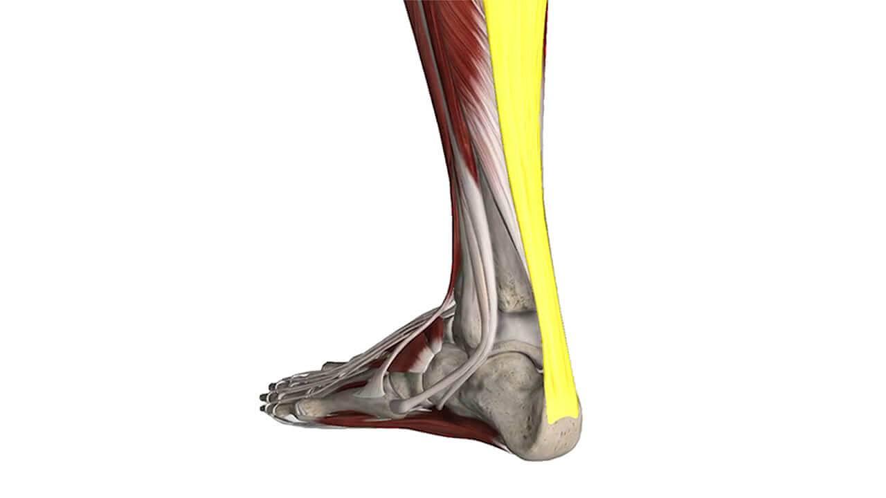 ECPC | Achilles Tendonitis Foot Model